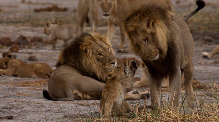 Luty z wielkimi kotami w National Geographic Wild