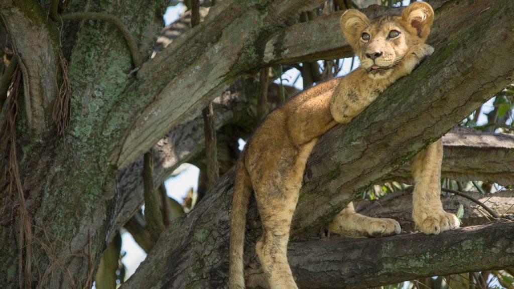 Lwy w koronach drzew
