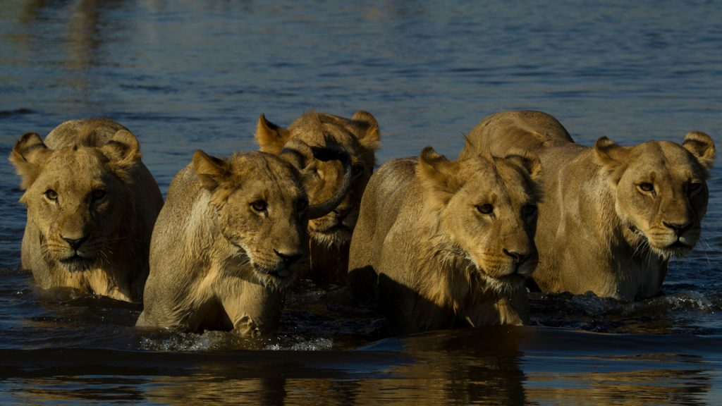 Narodziny lwiego stada