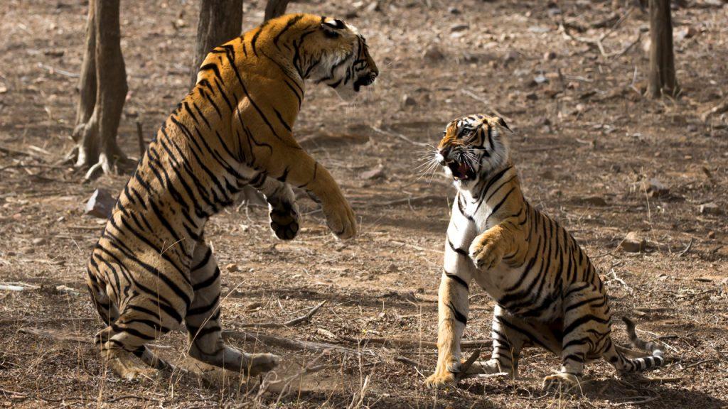 Tygrysia matka