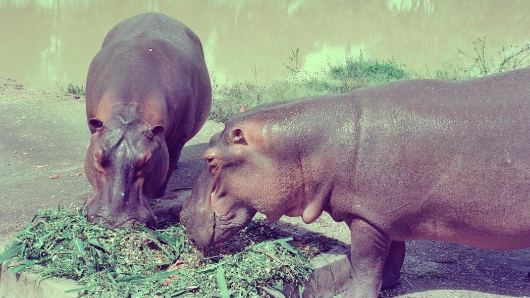 Hipopotamy Escobara