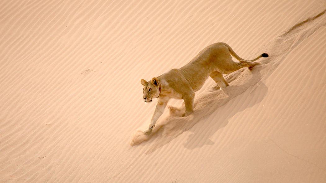 Królowie pustyni: lwy z Namibii